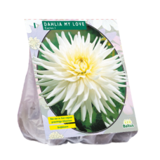 Dahlia Cactus My Love per 1. SOLD OUT!