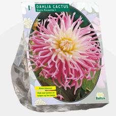 Dahlia Cactus Stars Favourite per 1. SOLD OUT!