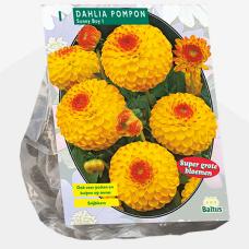 Dahlia Pompon Sunny Boy per 1. SOLD OUT!