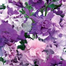 PETUNIA HYBRID F1Allegra Series (double grandiflora): Allegra Mixed