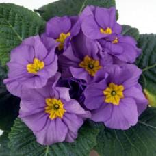 PRIMULA ACAULIS F1 Bellissima Blue