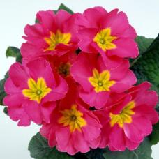 PRIMULA ACAULIS F1 Bellissima Rose