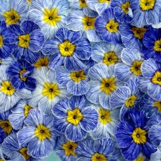 PRIMULA ACAULIS F1 Bellissima Blue Jeans