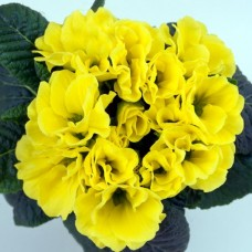 PRIMULA ACAULIS F1 Bellissima Lemon