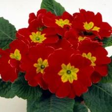 PRIMULA ACAULIS F1 Bellissima Red