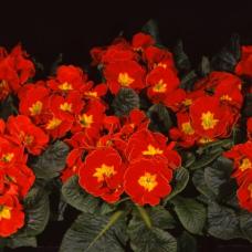 PRIMULA ACAULIS F1 Bellissima Scarlet
