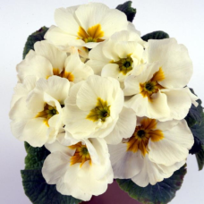 PRIMULA ACAULIS F1 Bellissima White