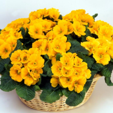 PRIMULA ACAULIS F1 Bellissima Yellow