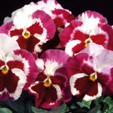 Viola Wittrockiana F1 Desiderio Rose Tricolour  Orchid, pansies