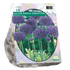 Allium Aflatunense Purple Sensation per 15