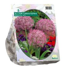 Allium Albopilosum Christophii per 5