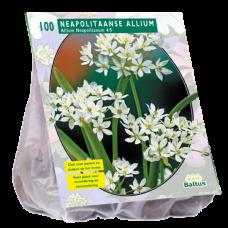 Allium Neapolitanum per 100