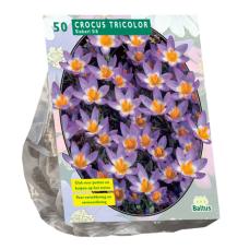 Crocus Sieberi Tricolor per 50