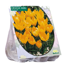 Crocus Large-flowered, Yellow, 25 bulbs