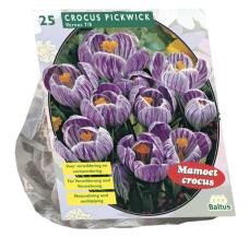 Crocus Large-flowered, Striped , 25 bulbs
