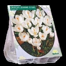 Crocus Grootbloemig, Wit, Crocus Large-Flowered, White, 25 bulbs.