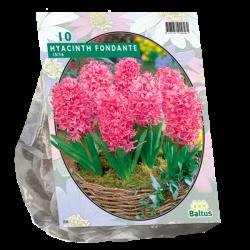 Hyacinth (Hyacinthus) Fondante, 10 bulbs.