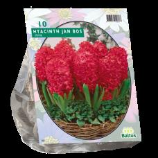 Hyacinthus (Hyacinth) Jan Bos, 10 bulbs.
