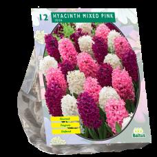 Hyacinthus (Hyacinth) Mixed pink,12 bulbs.