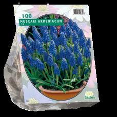 Muscari Armeniacum (Grape hyacinth), 100 bulbs.