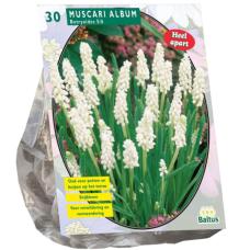 Muscari Botryoides Album, 30 bulbs.