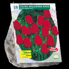 Tulipa Apeldoorn Red, Darwin Hybride, 20 bulbs.