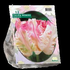 Tulipa (Tulip) Pink Vision, Parrot, 12 bulbs.