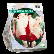 Tulipa (Tulip) Estella Rijnveld, Parrot, 12 bulbs.