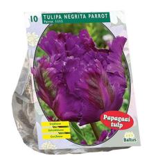 Tulipa (Tulip) Negrita Parrot, 10 bulbs.