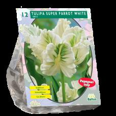 Tulipa (Tulip) White Super Parrot, Parrot, 12 bulbs.