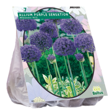 Allium Aflatunense Purple Sensation per 7