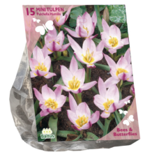 Tulipa Pulchella Humillis per 15  (Bees & Butterflies). SOLD OUT!