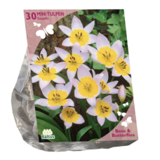Tulipa Saxatilis per 30 (Bees & Butterflies). SOLD OUT!