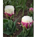 Tulipa (Double Tulip) Ice Cream, 5 bulbs.