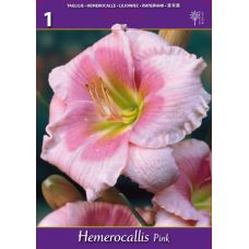 Hemerocallis Pink, Daylily (x1). SOLD OUT!