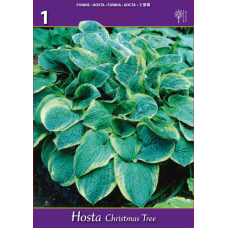 Hosta Christmas Tree (x1). SALE - 70%!