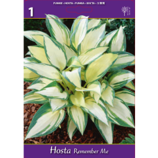 Hosta Remember Me (x1). SOLD OUT!