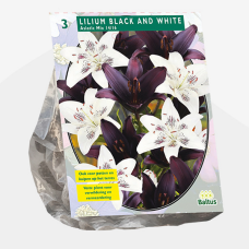 Lily (Lilium) Black and White (x3) . SOLD OUT!