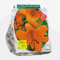 Lily (Lilium) 'African Queen' (x3). SOLD OUT!