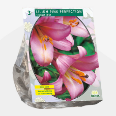 Lily (Lilium) 'Pink Perfection' (x3). SOLD OUT!
