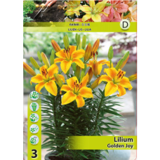 Lily (Lilium) 'Golden Joy' (x3) ASIATIC LILY. SOLD OUT!