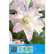 Lilium Soft Music (x1), ORIENTAL DOUBLE LILY. SOLD OUT!