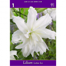 Lilium Lotus Ice (x1), ORIENTAL LILY. SOLD OUT!