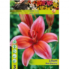 Lily (Lilium) 'Red Electric' (x3) ASIATIC LILY. SOLD OUT!