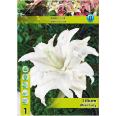 Lily (Lilium) 'Miss Lucy' (x1) ORIENTAL LILY. SOLD OUT!