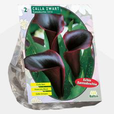Calla Zantedeschia Black per 2. SALE - 70%!