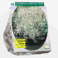 Gypsophilia Paniculata, Bristol fairywhite, 10 pcs. SOLD OUT!