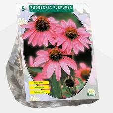 Rudbeckia Purpurea per 5. SALE - 70%!