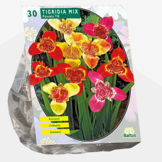 Tigridia Pavonia, Mix per 30. SOLD OUT!