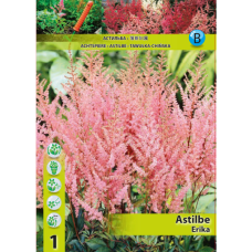 Astilbe Erika (x1). SOLD OUT!